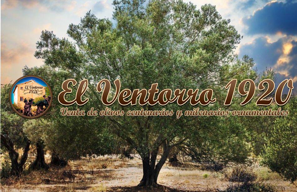 Foto de El olivo, el árbol decorativo de moda, por OLIVOS EL