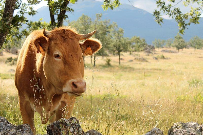 Foto de El sector del vacuno de carne destaca sus beneficios