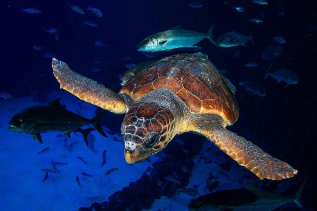 Foto de Una tortuga encontrada en estado crítico se recupera en